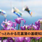 ざっとわかる花菖蒲の基礎知識(育て方・花言葉などを掲載)